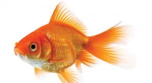 Gold fish Best gold fish food