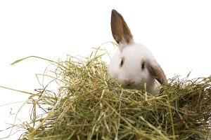 Rabbit eatin Hay Best food for rabbit
