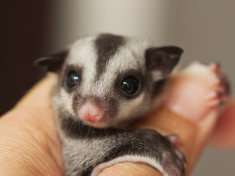 Best Sugar glider food